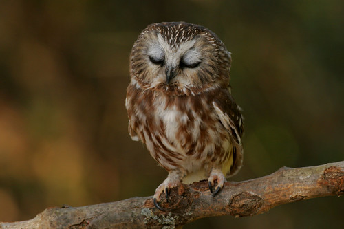 Sleepy Saw-whet Owl von Alex Thomson13