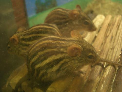 鼠@上野動物園