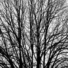 Section of a lime-tree (miguel valle de figueiredo) Tags: trees bw portugal blackwhite graphics pb abstraction abstracto rvores pretobranco limetree tondela tlia abstraco rvens