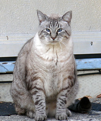 A Nice Pose (Glenn Harris (Clintriter)) Tags: white oregon cat nice fat gray posing hoodriver notmycat supershot cc200 cc100 abigfave bestofcats