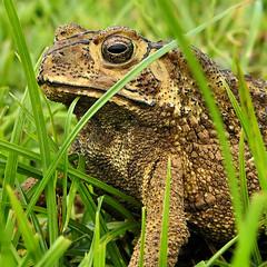 Golden eye (Bn) Tags: pad toad laos grasslands goldeneye bufo eastasia naturesfinest supershot mywinners ysplix darekissthefrog asiatictoad goldbrowncolor bufogargarizans ladieskissthefrog nearbymekongriver