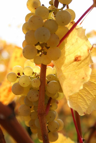 Riesling by Gerald Claessens, on Flickr