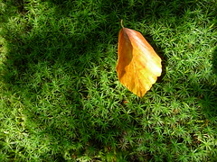 fall (JodyDigger) Tags: autumn orange green fall golden leaf moss catchycolours beech beechleaf