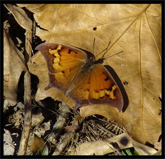 In all her splendor....=-))) (Daisy Mai-ling) Tags: orange fall butterfly insectsandspiders anaeaandria goatweedleafwing buzzandbugz lincolncountymo mdc75