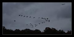 flight (felt_tip_felon) Tags: birds geese flight aeroplane vformation heathrowbound