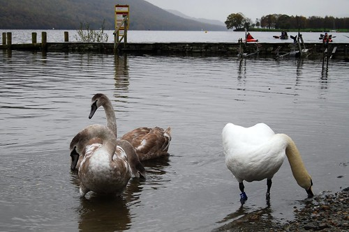 Coniston Swans
