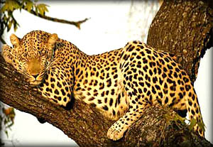 spotted-leopard