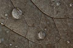 The Index of Refraction ((Erik)) Tags: leaf drops refraction nerves tamron90mm 1333 20°c snellslaw dddbooster theindexofrefraction