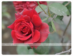 Red Rose,   ({ahradwani.com} Hawee Ta3kees- ) Tags: flowers red stilllife macro green love leaves rose photo nikon close ali explore hassan 2009 doha qatar  valentineday   d90  explored    18105mm  explore09 nikond90    nikond90club nikon18105mm hawee 18105mmlens  explore2009 explorefebruary09   haweeta3kees   ta3kees ahradwanicom ahradwani