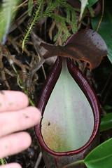 Nepenthes ramispina periostum