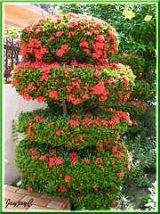 A topiary bush of Ixora coccinea 'Dwarf Red' (Jungle Flame/Geranium, Flame of the Woods, Needle Flower)