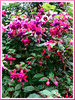 Fuchsia 'Mrs. Popple' (Fuchsia, Lady's Eardrops, Bush Fuchsia, Basket Fuchsia, Trailing Fuchsia)