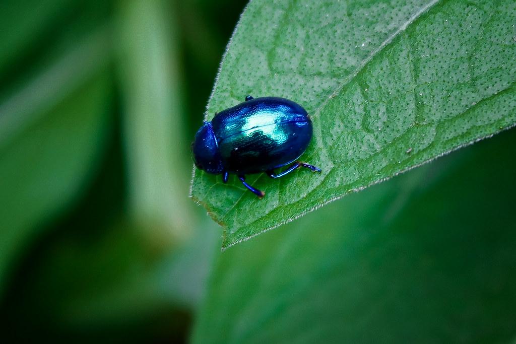shinny blue