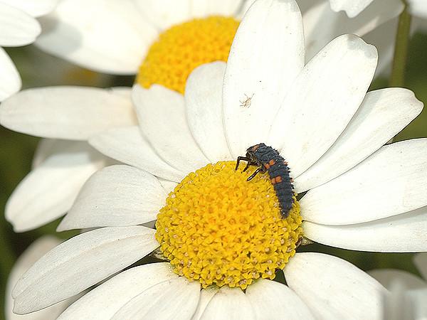 ノースポールにとまるてんとう虫の幼虫