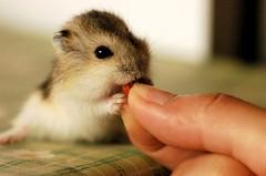 Pumpkin's old photo (EricFlickr) Tags: pet cute animal taiwan hamster