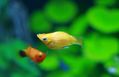 Best Friend:) (Spice  Trying to Catch Up!) Tags: camera orange pet fish color green art beautiful japan canon geotagged asian photography eos aquarium photo amazing interesting kiss asia flickr colours image photos wordpress creative picture vivid blogger livejournal explore photographs photograph collections tropical safe portfolio vox dslr gettyimages  facebook friendster multiply platy larawan   balloonmolly twitter colorpicture creativeimages colorimages digitalx anawesomeshot aplusphoto diamondclassphotographer twitpic