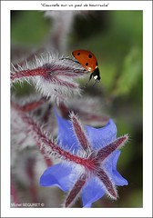 Coccinelle sur un pied de Bourrache (Michel Seguret) Tags: france flower macro nature fleurs insect fun nikon tripod sensational fabulous iq printemps soe shiningstar naturesbest insecte flore coccinelle languedocroussillon smrgsbord enjoylife hrault potofgold occitanie sigma105 blueribbonwinner objektif nikond200 thinkgreen kartpostal amazingcapture 25faves myphotobook royalgroup diamondheart anawesomeshot poussan crystalaward ysplix excellentphotographerawards estremit diamondstars themacrogroup thisphotorocks goldwildlife breathtakinglybeautiful dragongoldaward flickrestrellas thebestofday gnneniyisi thebestoftheday checkoutmynewpics spiritofphotography gnnenlyisi mimamorflowers allaboutinsects worldnaturewildlifecloseup nikonflickraward flickrverte naturallymagnificent 100commentgroup grouptripod vosplusbellesphotos oletusfotos momentdimagination flickrpopularphotographer croquenature macroenfolie doubledragonawards allkindsofmacroscloseups allaboutinsectsspiders mbpictures mostbeautifulpictures michelseguret