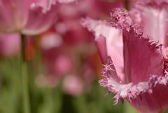Pink Tulips in the Keukenhof (The Sandy) Tags: pink flower macro netherlands closeup tulips nederland pinkflower tulip bollen flowercloseup keukenhof tulpen roze bloem tulp lisse flowermacro rozebloem tulpenbol