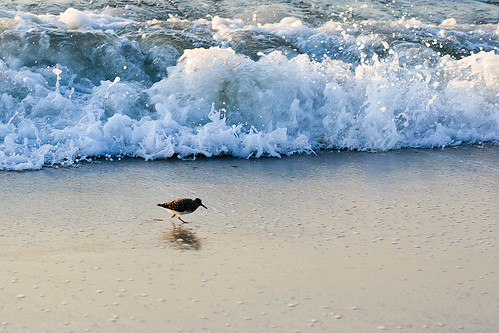 Least Sandpiper