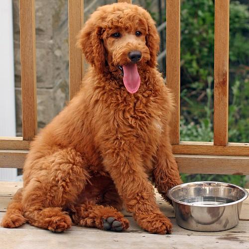 photo size  medium 500Apricot Standard Poodle Puppy Cut