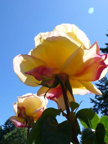 透光的玫瑰