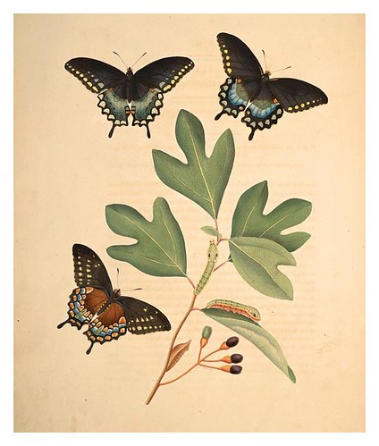 06-Illustration of Papilio Ilioneus. Laurus Sassafras 2