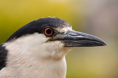 Black-crowned Night Heron (Hockey.Lover) Tags: birds lakemerritt urbanbirds alamedacounty blackcrownednightheron