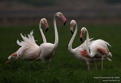Greater Flamingo - Phoenicopterus roseus (Arpit - The Waders) Tags: birds animals wildlife flamingo greater arpit phoenicopterusroseus gujarat phoenicopterus roseus specanimal arpitdeomurari deomurari birdsofgujarat birdsofindiabirdsofkutchbirdsofjamnagarwadersbirdsofgulfofkutchjamnagarkutchgreatrannofkutchlittlerannofkutchgujaratindiaindianbirdsarpitwildlifephotographyarpitbirdphotographyarpitwadersphotography gujaratphotography gujaratwildlifephotography gujaratbirdphotography arpitdeomurariwildlifephotography arpitdeomurariphotography kutchwildlifephotography kachchhwildlifephotography indiawildlifephotography