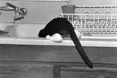 Butt/In the Sink (rootcrop54) Tags: blackandwhite rescue water cat 35mm kitten chat sink thomas gato gatto kot kedi γάτα blackmask livingwiththomas thecatwhoturnedonandoff