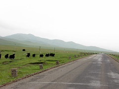 Yaks are my constant companions in Qinghai Province (304 road from Erlou), China
