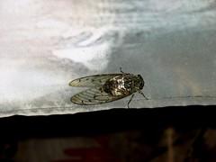 Cicada (Herenya Undomiel) Tags: travel korea suwon koreanfolkvillage
