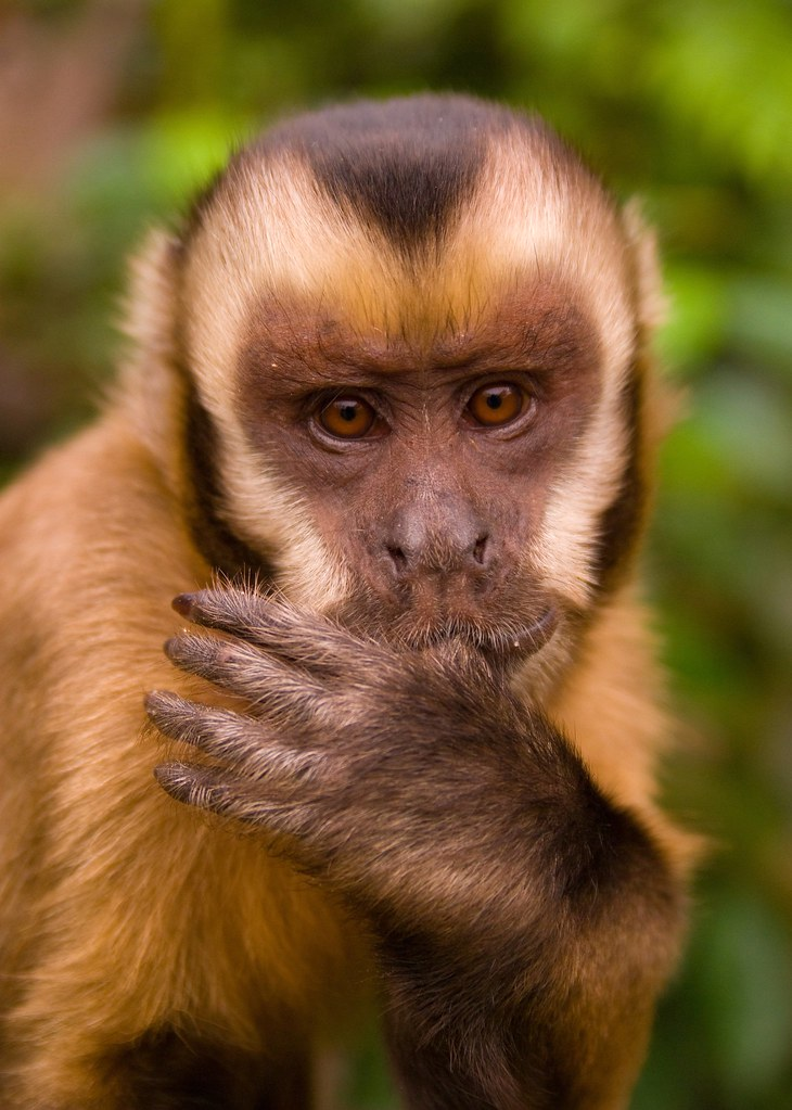 Baby the Capuchin
