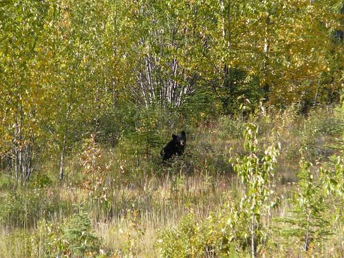 El oso negro que encontre al lado de la ruta