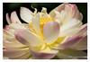 DSCF0660 (Andrea Gazzarrini Photo) Tags: summer flower fuji estate lotus sacred pro fiore s3 70200 aquaticplants loto nelumbo nelumbium fiorediloto pianteacquatiche acquatica fiordiloto nikkor7020028vr gazzarrini flowerlotussacredlotus nelumbonuciferaflower