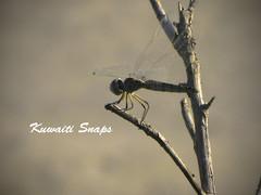 Waiting for a hope (Kuwaiti Snaps) Tags: canon hope dragonfly powershot kuwait beatiful kuwaiti  g9