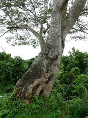 Bärenbaum von Kellie's Castle