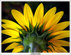 sunflower (b side) (Andrea Rapisarda) Tags: color nature beauty yellow colore searchthebest natura sunflower simple girasole gmt bside latob mywinners abigfave platinumphoto theunforgettablepictures colourartaward platinumheartaward wonderfulworldofflowers andrearapisarda