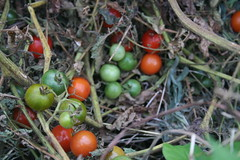 some of the composted tomatoes