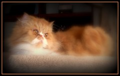 Toby (iwork4toby) Tags: red portrait persian october midwest persiancat redpersian luv2explore