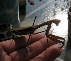 Mantis on hand (spincast1123) Tags: brown digital canon bug mantis insect photography photo illinois interesting flickr legs image picture photograph electronic digitalphoto prayingmantis digitalphotography copywrite mchenrycounty wowiekazowie onlythebestare spincast1123 electronicimage copywriteprotected