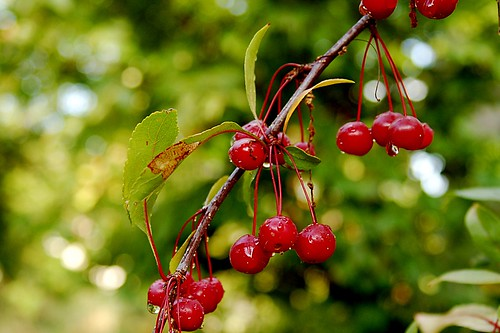 Dewy cherries.