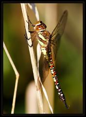 CustomName021 (Kelvin_) Tags: macro canon bug insect climb dragonfly wildlife kelvin 15challengeswinner