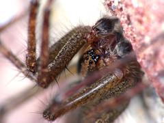Look Into My Eyes (zxgirl) Tags: night bug spider spiders arachnid flash bugs creepy arachnids mybackyard arachnida s5 araneae palps funnelwebspider dcr250 raynox agelenopsis grassspider agelenidae araneomorphae malespider truespiders grassspiders funnelwebspiders entelegynes arachtober arachtober08 img6410r spiderpalps malepalps