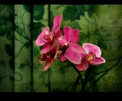 In the Mood for Love (Visualtricks) Tags: pink green movie mood orchids song chinese tend firstquality explore14 infinestyle
