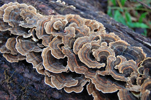 turkey tail shelf fungus