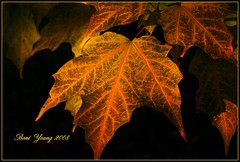 Nature's Gold (The b flats/Boni) Tags: nature autum mapleleaf supershot imageonblack vosplusbellesphotos