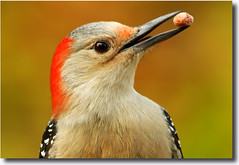 The Perfect Nut (nature55) Tags: fab bird germantown wisconsin woodpecker searchthebest aves redbelliedwoodpecker nature55 impressedbeauty avianexcellence 230explorepages