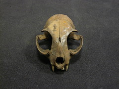 Animal Bone (Cat Skull) - Site BLH73