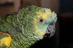 Parrots as Pets Birds Bird Birds Animals Parrot