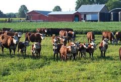 The Kibler Farm, Edinburg, Ohio (bjebie) Tags: rural cattle barns pasture portagecountyohio kiblerfarm edinburgohio